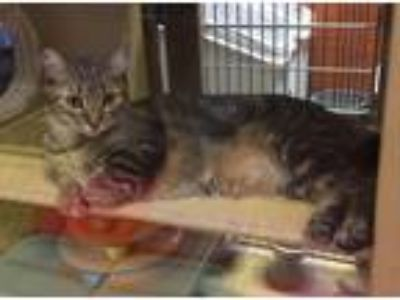 Adopt *Marlena a Brown Tabby Domestic Shorthair / Mixed (short coat) cat in