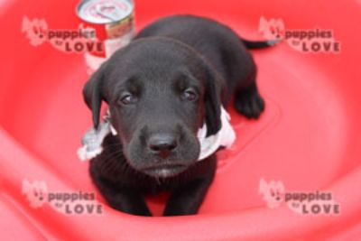 Labrador Retriever PUPPY FOR SALE ADN-87466 - AKC  FULL REGISTRATION