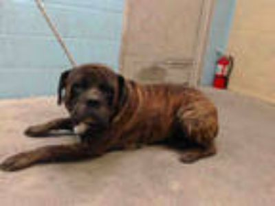 Adopt BRUNO a Brown/Chocolate Mastiff / Mixed dog in Downey, CA (25625448)