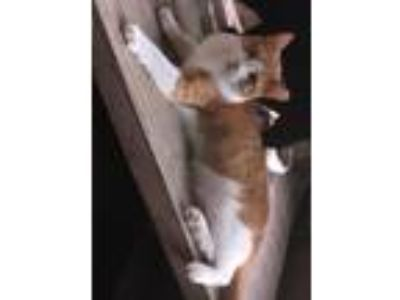 Adopt Foo a Orange or Red (Mostly) Domestic Shorthair / Mixed (short coat) cat