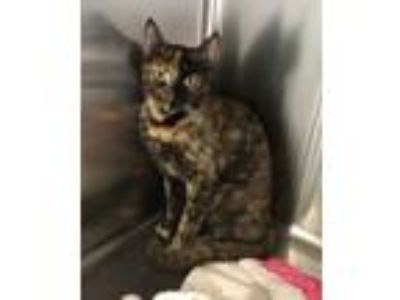 Adopt BEAUTY a Domestic Short Hair, Calico