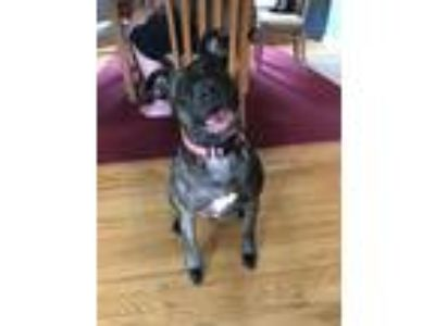 Adopt Holly a Brindle Terrier (Unknown Type, Medium) / Labrador Retriever /