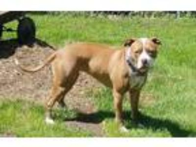 Adopt Lexi a American Staffordshire Terrier, Pit Bull Terrier