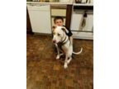 Adopt Brando a White - with Tan, Yellow or Fawn American Pit Bull Terrier /