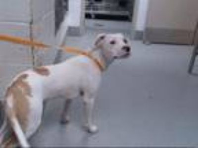 Adopt PETER a Foxhound, Mixed Breed