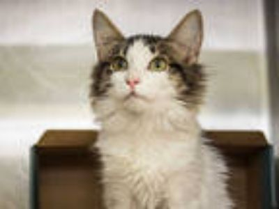 Adopt a White (Mostly) Domestic Mediumhair / Mixed (medium coat) cat in