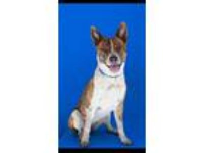Adopt Quinn a Australian Cattle Dog / Blue Heeler
