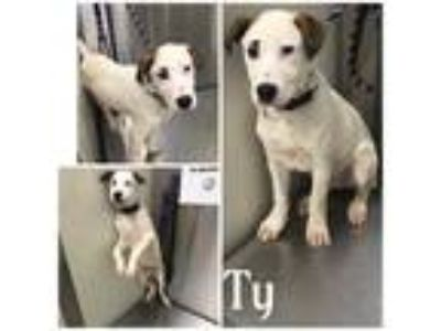 Adopt TY a White - with Brown or Chocolate Mixed Breed (Medium) / Mixed dog in