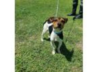 Adopt Keeno JH a White Rat Terrier / Beagle / Mixed dog in Von Ormy