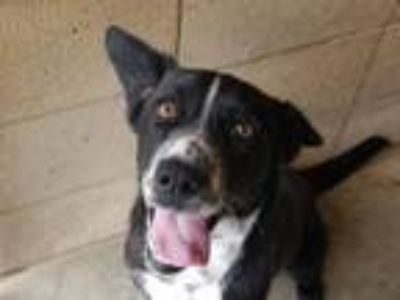 Adopt STELLA a Border Collie