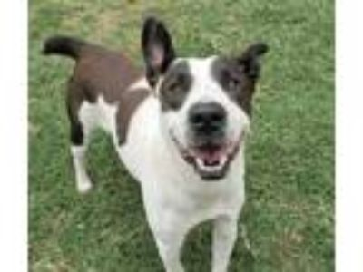 Adopt Freeda a White Border Collie / Mixed dog in Irving, TX (25861276)