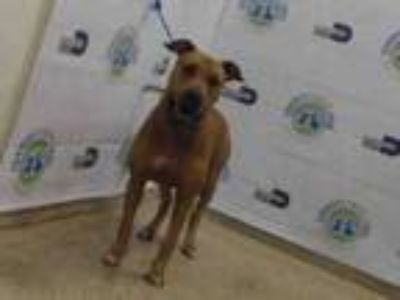 Adopt CHUCK a Labrador Retriever, Mixed Breed