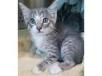 Adopt Milky Way a Domestic Shorthair / Mixed cat in Norman, OK (25358157)