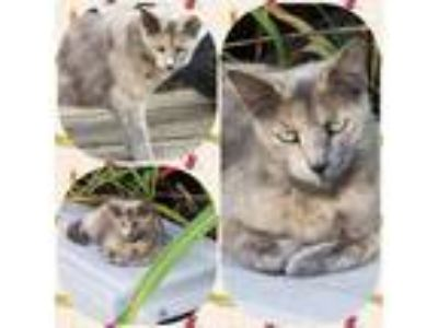 Adopt Sweetie a Domestic Shorthair / Mixed (short coat) cat in Henderson