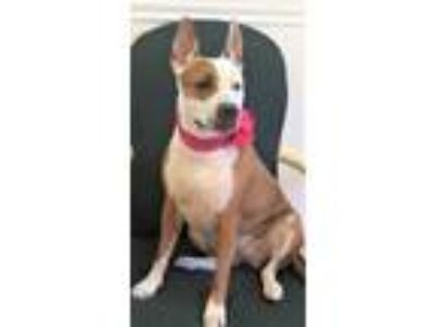 Adopt Cali (wonderful!!) a Cattle Dog, Boxer