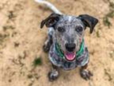 Adopt Oreo a Australian Cattle Dog / Terrier (Unknown Type