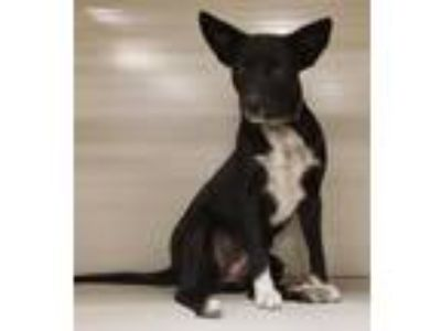 Adopt Sadie a Black - with White Australian Cattle Dog / Terrier (Unknown Type