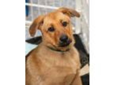 Adopt Shepherd mix puppies a German Shepherd Dog