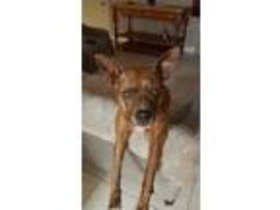 Adopt JOY a Brindle Manchester Terrier / Mixed dog in Palm City, FL (21157244)