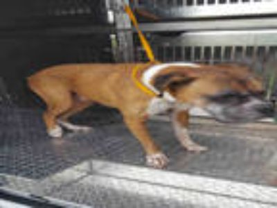 Adopt MONSTER a Tan/Yellow/Fawn - with White Boxer / Mixed dog in Fort Myers