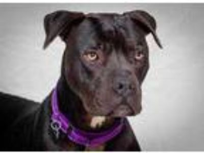 Adopt Scooby a Black Cane Corso / Mixed dog in Chicago, IL (25650012)