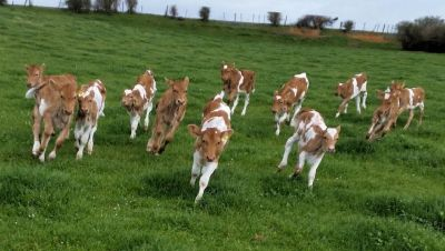 Heritage Dairy Breeds ~ A2/A2 Positive now in stock