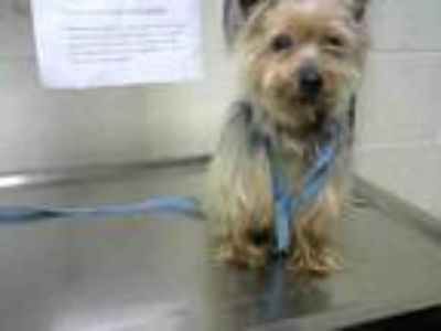 Adopt SCRAPPY a Yorkshire Terrier