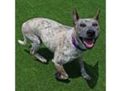 Adopt Mindy a Australian Cattle Dog / Mixed dog in Mipiltas, CA (25651201)