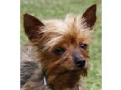 Adopt FEFE a Yorkshire Terrier, Mixed Breed