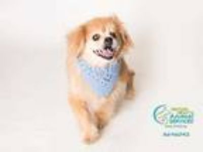Adopt *BLAZE a Tan/Yellow/Fawn Tibetan Spaniel / Mixed dog in Camarillo
