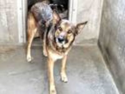 Adopt BILLY a Mixed Breed, German Shepherd Dog