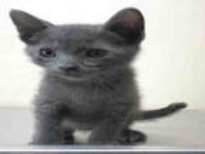 Adopt FLINT a Gray or Blue Domestic Shorthair / Mixed (short coat) cat in Lodi