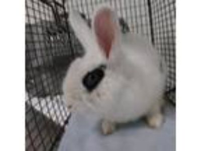 Adopt Sugar Plum a Other/Unknown rabbit in Knoxville, TN (25305788)