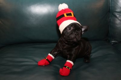 French Bulldog PUPPY FOR SALE ADN-107775 - AKC French Bulldogs ready for Christmas