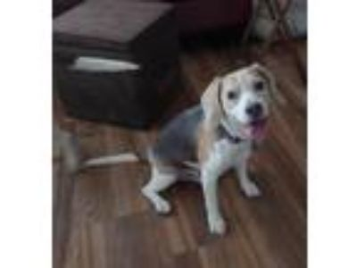 Adopt Dill a Tricolor (Tan/Brown & Black & White) Beagle / Mixed dog in Las