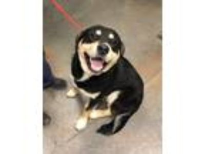Adopt Bernie a Black Shepherd (Unknown Type) / Rottweiler / Mixed dog in