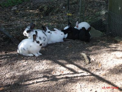 Rabbits 15 or more $90 Adel