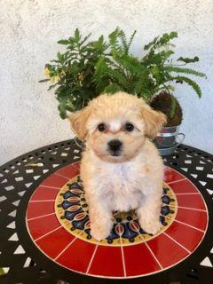 Maltipoo PUPPY FOR SALE ADN-104580 - Adorable Maltipoo Girl