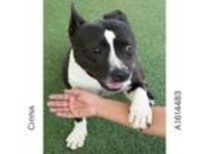 Adopt CHYNA a American Staffordshire Terrier