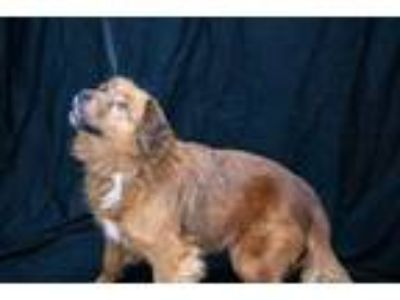 Adopt Duchess a Red/Golden/Orange/Chestnut Spaniel (Unknown Type) / Retriever
