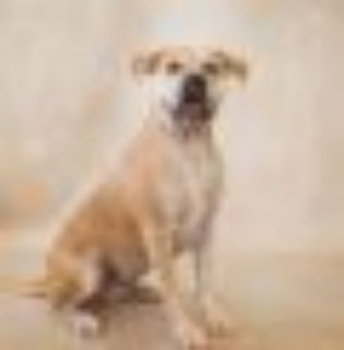 Pen 149 Hw++ Mac American Bulldog Dog
