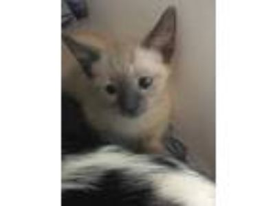 Adopt 41985487 a Cream or Ivory Siamese / Domestic Shorthair / Mixed cat in Land