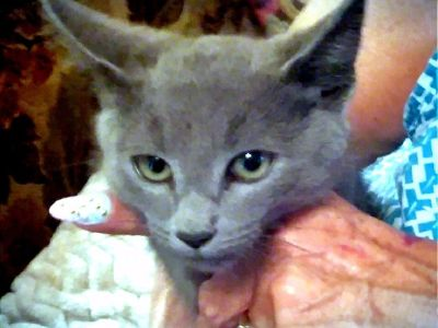 GORGEOUS PUREBRED RUSSIAN BLUE KITTENS AVAILABLE
