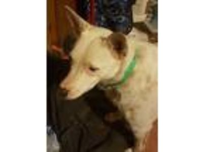 Adopt Bolt a White - with Tan, Yellow or Fawn Blue Heeler / Cattle Dog / Mixed