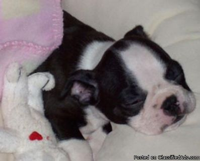 Boston Terrier puppies M/F black and white or red/white for sale