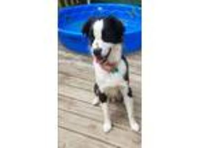 Adopt Lucky Luciano a Border Collie, Spaniel