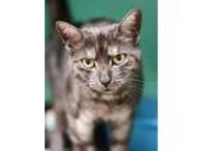 Adopt Emily Alice 206535 a Domestic Short Hair