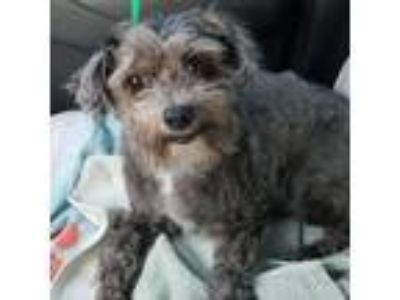 Adopt Reggie a Gray/Silver/Salt & Pepper - with White Poodle (Miniature) /