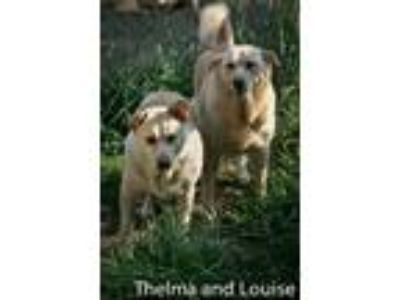 Adopt Thelma & Louise a Cattle Dog