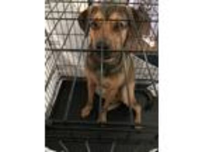 Adopt BO (Billy Ocean) a Brown/Chocolate - with Black German Shepherd Dog /
